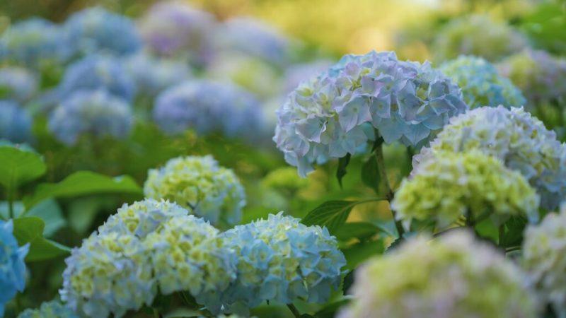 Como plantar e cuidar de hortênsias 09 Vision Art NEWS