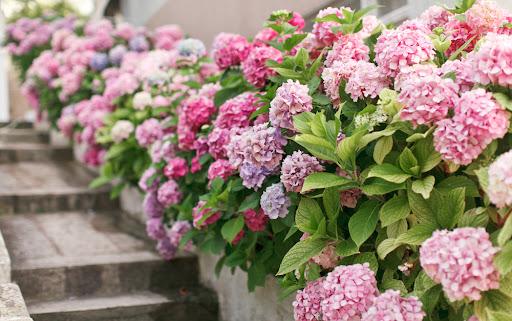 Como plantar e cuidar de hortênsias 10 Vision Art NEWS
