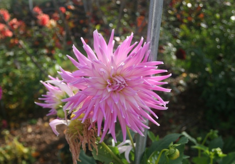 dalia flores jardim dicas cultivo pxfuel.com 01 Vision Art NEWS