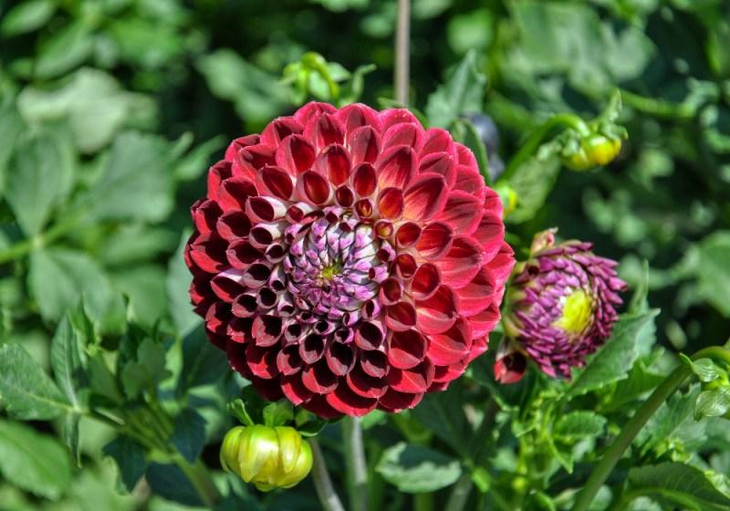 dalia flores jardim dicas cultivo pxfuel.com 04 Vision Art NEWS