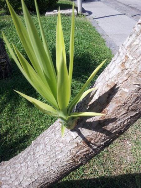 Yucca rostrata coltivazione