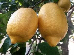 foto-limones-costa-costa