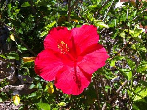 Casacalpe_Hibiskusblüte