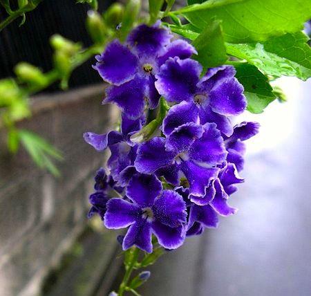 duranta flower