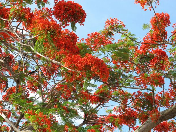 flamboyan flowers