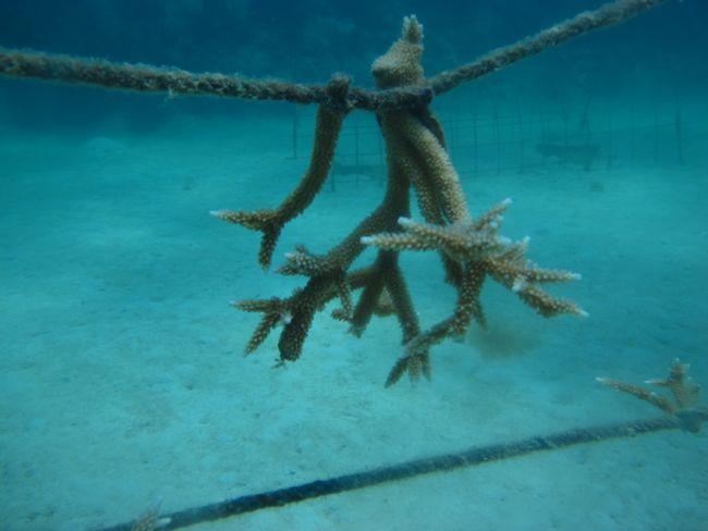 coral transplante bayahibe