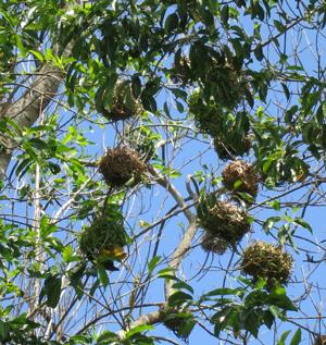 Village Weaver nests
