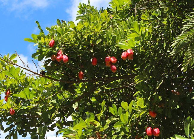 cajuiles_fruits