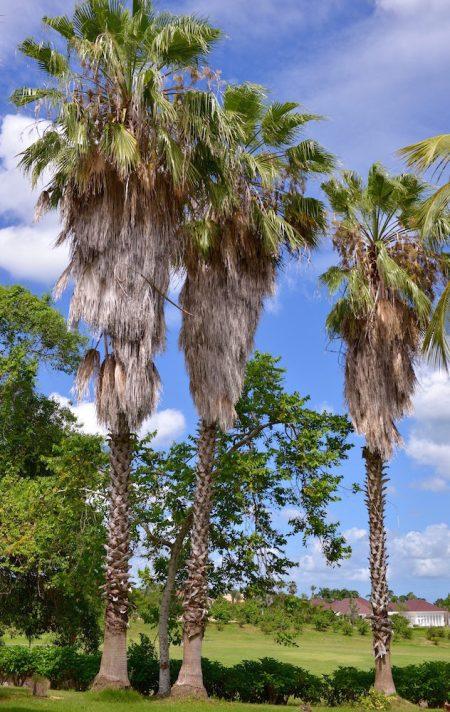 Palm Trees Casa de Campo