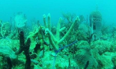 coral transplant Bayahibe