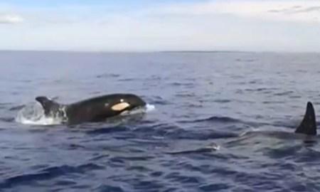 Orca whales Saona Island