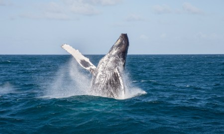 Humpback Whale coming out fixed
