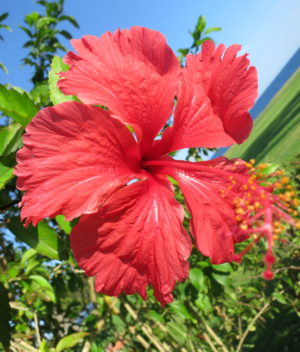 rose hibiscus1