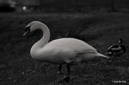 kao_swans6-2