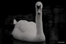 kao_swans8-