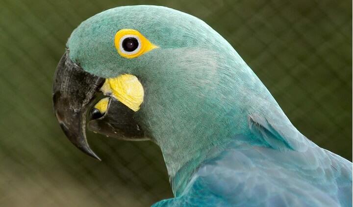 Populares Saiba Tudo Sobre a Arara-azul-de-lear - Casa dos Pássaros LW36