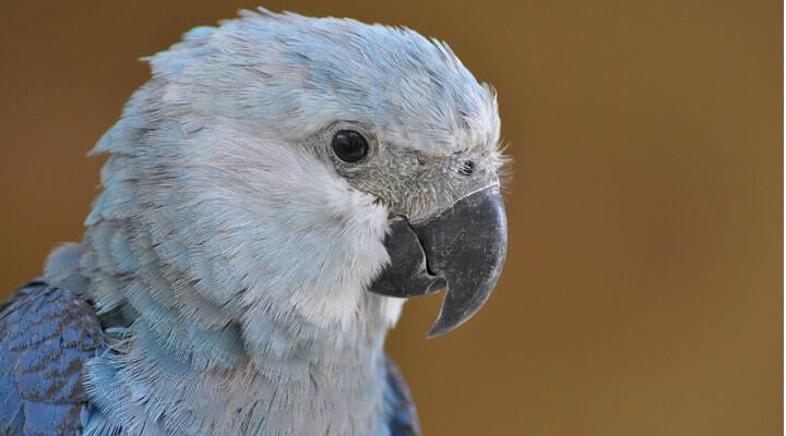 Muito Saiba Tudo Sobre a Ararinha-azul - Casa dos Pássaros FS52