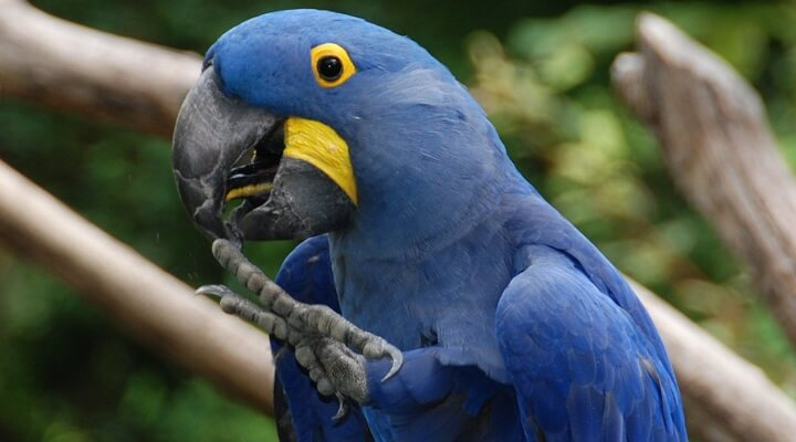Fabuloso Fotos de Arara-azul - Casa dos Pássaros JE05