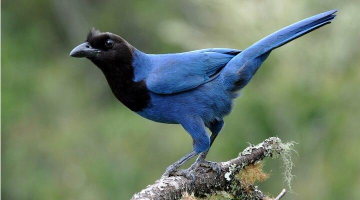 [Image: Lenda-da-Gralha-Azul.jpg]