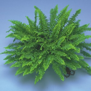 A potted Boston 'Compacta' Fern against a light blue background