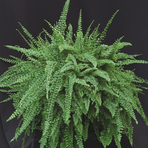Emerald Vase Boston Fern