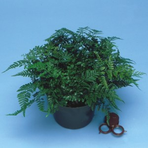 White Rabbit's Foot Fern in a pot.