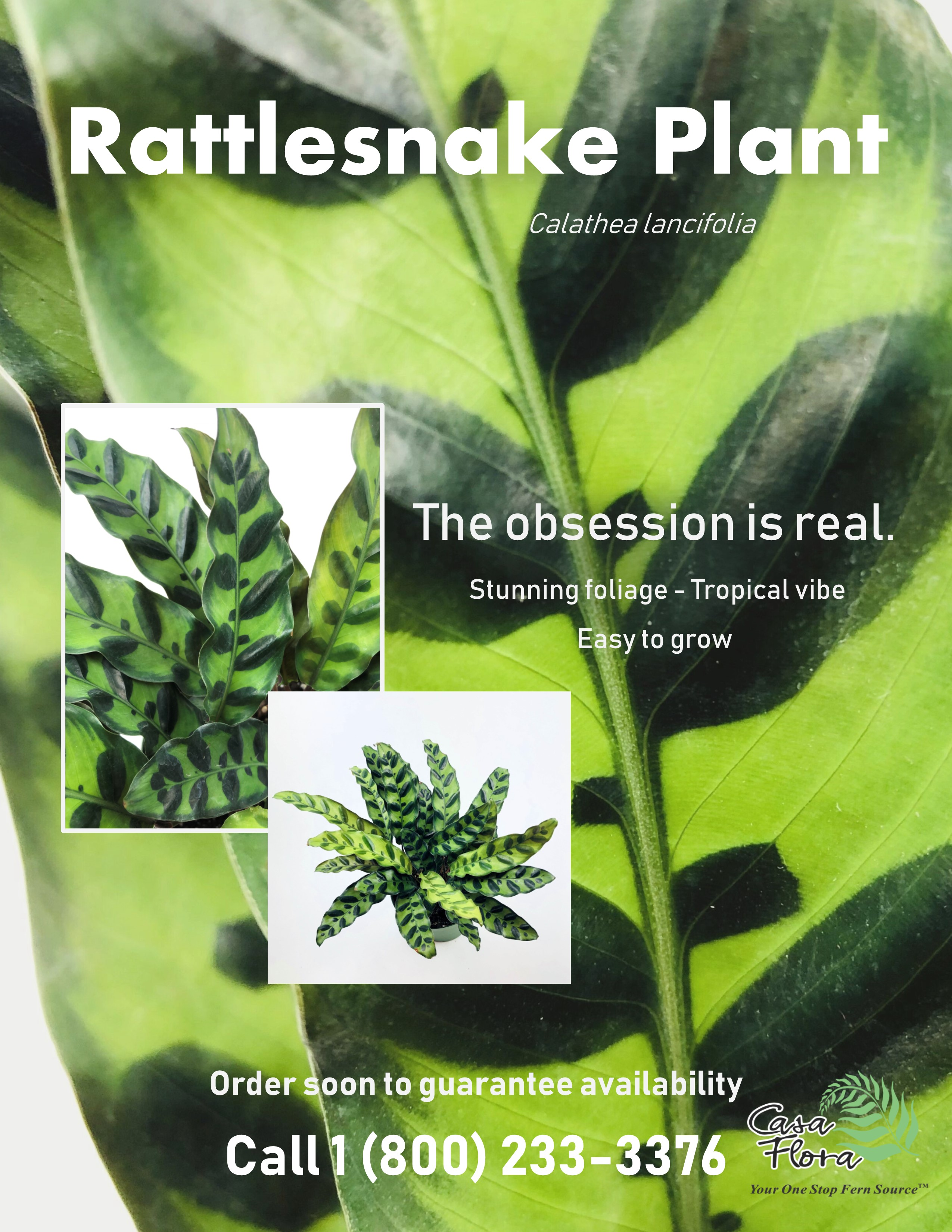 Flyer for Rattlesnake plant