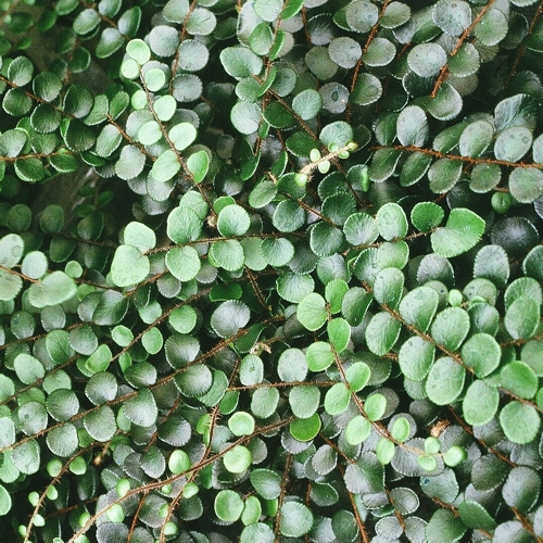 A detailed close up image of Button Fern.