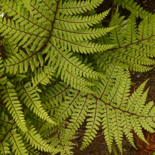 Limelight™ Lady Fern