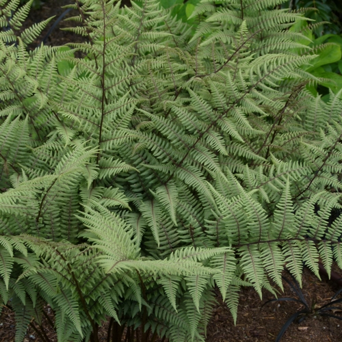 Ghost™ Painted Fern growing in a planted bed.