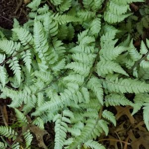 Japanese Painted Fern 'Pearly White'™