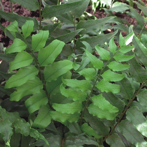 A close up image of Fortune's Cold Hardy Fern