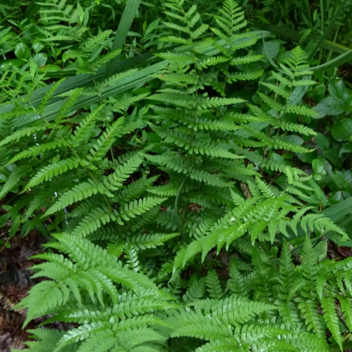 Eastern Wood Fern