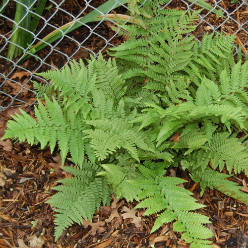 Beautiful Wood Fern growing by a chain link fence.