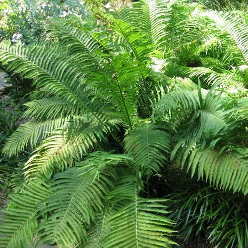 Ostrich Fern -The King