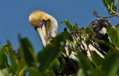 Pelican - Pelícano cafe - P' onto