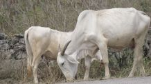 Couple of cows