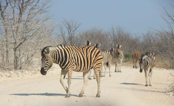Zebras no Etosha