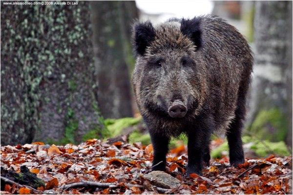 cinghiale, wild boar in Tuscany
