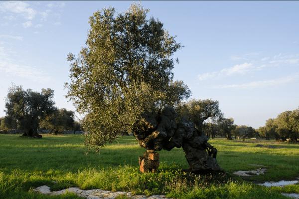 Masseria Brancati olive oil Puglia