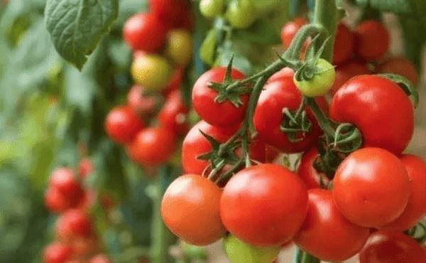 Hyblaean tomatoes