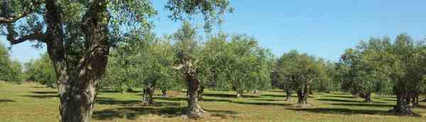 Monti Iblei olive groves
