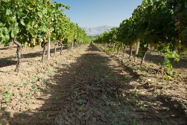 Case Alte vineyards