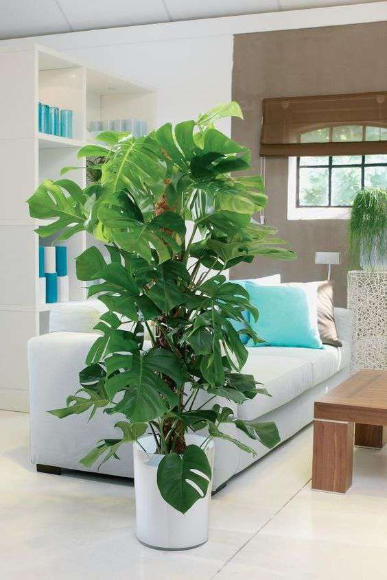 Decorar con plantas de f cil cultivo costilla de ad n for Decoracion con plantas en living