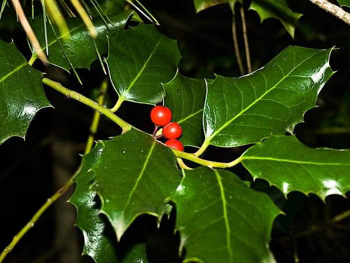 plantas-para-navidad-acebo-2