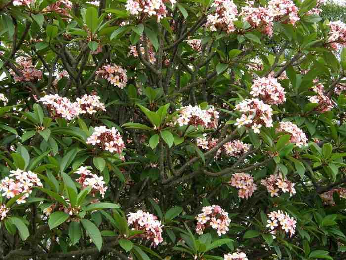 plumeria-frangipani-6