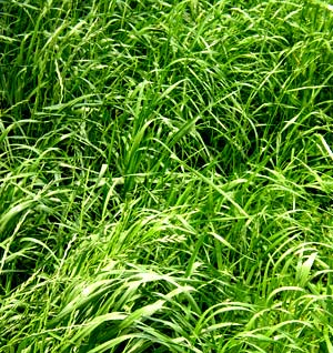 Tipos de Césped, Cuál Elegir: Rye Grass