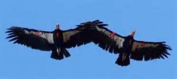 condor friends of condors.org