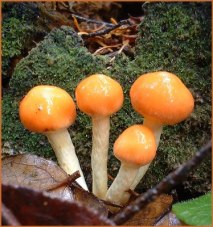 little-orange-mushrooms