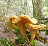 Cantharellus formosus photo by Bruce Newhouse